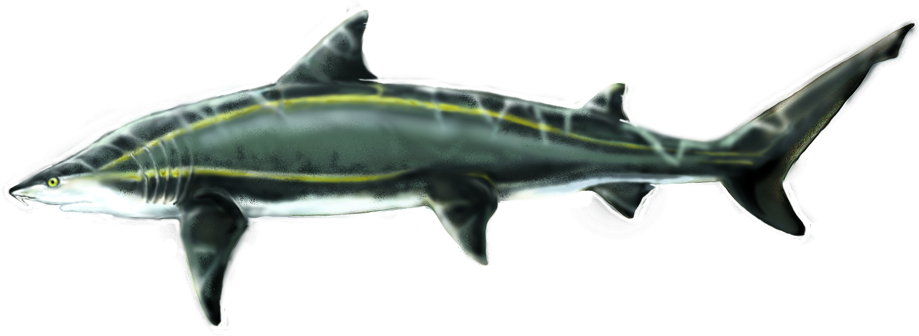 Snaggletooth Shark Information - Hemipristis shark facts and ...