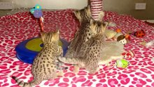 Stunning F1 and F2 savannah kittens for new homes.