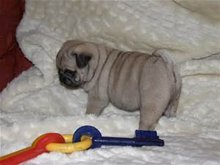 Hweer pug puppies