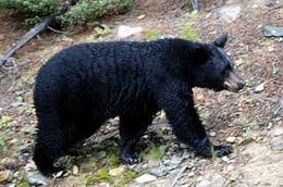 Maryland black bear lottery now open