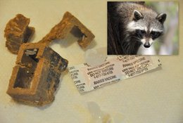 Raccoon Oral Rabies Vaccination Project begins August 31, 2017