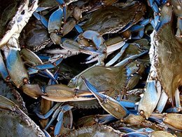 Survey Finds Resilient Chesapeake Bay Blue Crab Population