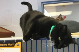 Nibbles is a black and white Domestic Short Hair